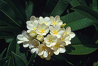 White and yellow plumeria, or frangipani (apocynacae)
