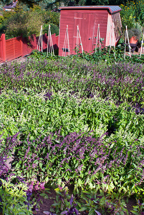 Kinds of basil herb Ocimum different varieties mixed in vegetable garden