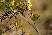 Fazenda Bauplatz, Brazil. Yellow butterfly on a yellow flower.