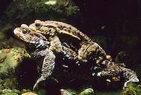 Erdkröte, Paarung, Kopulation, Kopula, Männchen Huckepack auf Weibchen, beim Laichen, Ablaichen unter Wasser, Unterwasser, Erd-Kröte, Kröte, Bufo bufo, European common toad
