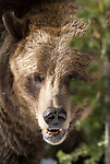 A grizzly bear poses for a portrait in Yellowstone National Park, Wyoming, USA, January 10th 2009.  The bear was foraging for pine nuts.  Photo by Gus Curtis