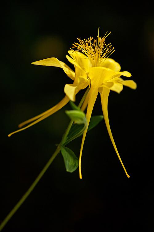 Yellow columbine (Aguilegia chrysantha)