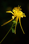 Yellow columbine (Aguilegia chrysantha)