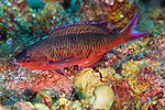 Clepticus parrae, Creole wrasse, Turneffe, Belize