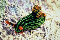 nudibranch or sea slug, Nembrotha kubaryana, Mabul Island, off Borneo, Sabah, Malaysia (Celebes Sea), Pacific Ocean