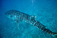 Spotted whale shark (rhincodon typus) swimming in Ari Atoll, Maldives.