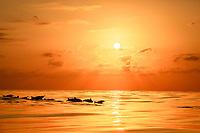 spinner dolphin, Stenella longirostris, pod, porpoising, at sunset, silhouette, Chichi-jima, Bonin Islands, Ogasawara Islands, UNESCO World Heritage Site, Japan, Pacific Ocean