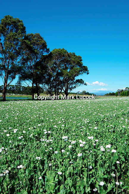 Field of Opium Popppies