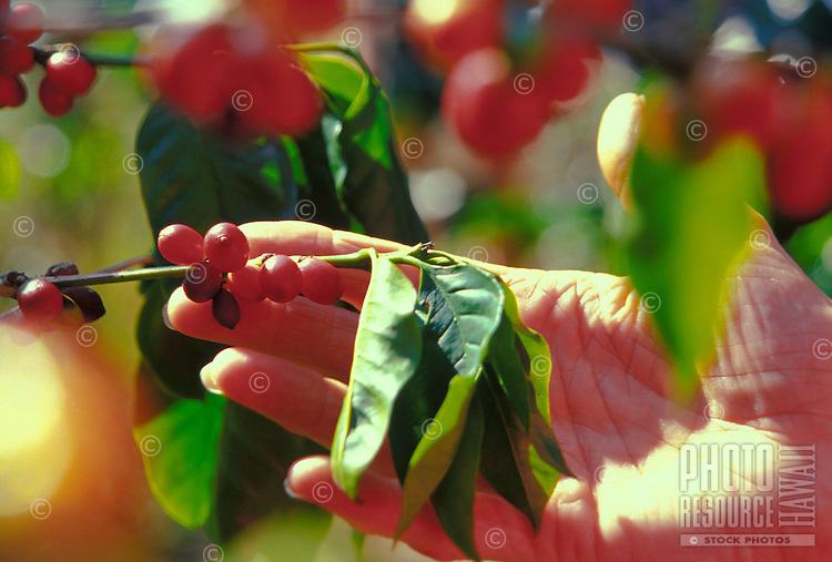 Close up of a womans hand holding kona coffee beans on the tree