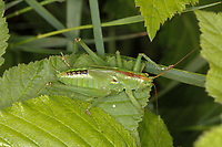 Grünes Heupferd, Nymphe, Larve, Großes Heupferd, Großes Grünes Heupferd, Grüne Laubheuschrecke, Tettigonia viridissima, Great Green Bush-Cricket, Green Bush-Cricket