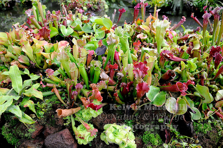 A large selection of Carnivorous plants on display. Gardens by the Bay - Singapore