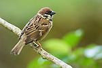 Eurasian Tree Sparrow (Passer montanus), Tawau Hills Park, Sabah, Borneo, Malaysia