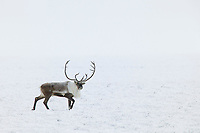 Bull caribou walks across the snow covered tundra of Alaska's arctic north slope.