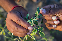 Guar farmer Bhanwarlal Sharma, 60, and his son, Arjun Sharma, 28, inspect the health of their crop in their agriculture field in Bamanwali village, Bikaner, Rajasthan, India on October 24th, 2016. Non-profit organisation Technoserve works with farmers in Bikaner, providing technical support and training, causing increased yield from implementation of good agricultural practices as well as a switch to using better grains better suited to the given climate. Photograph by Suzanne Lee for Technoserve