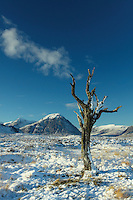 Dead tree on Rannoch Moor looking towards Buachaille Etive Mor, Glencoe, Highlands<br /> <br /> Copyright www.scottishhorizons.co.uk/Keith Fergus 2011 All Rights Reserved
