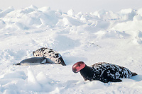 hooded seal, Cystophora cristata, male, inflating proboscis as disturbed or as a courtship display, and female with pup, on ice, Gulf of Saint Lawrence, Canada, Atlantic Ocean