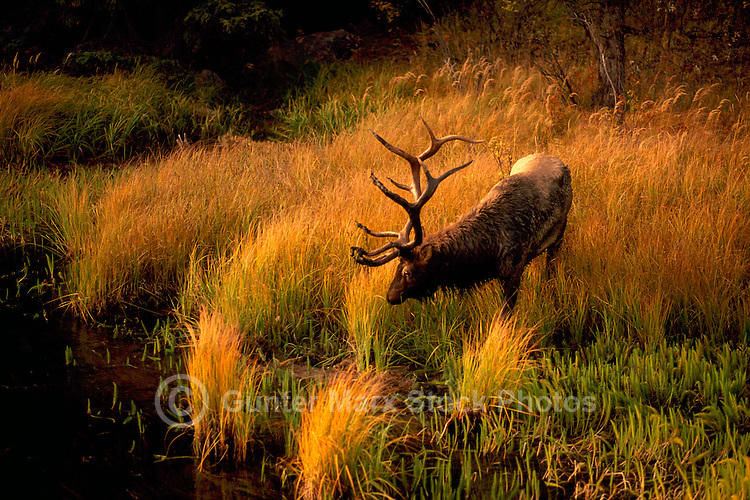 Jasper National Park, Canadian Rockies, AB, Alberta, Canada - Bull Elk aka Wapiti (Cervus canadensis), grazing and drinking at Watering Hole at Sunset - North American Wildlife