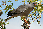 Dark Chanting Goshawk, Melierax metabates, Ethiopia, perhced in tree.Africa....
