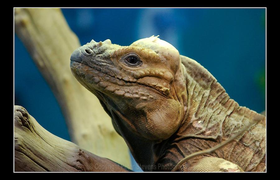 Rhinoceros Iguana (Cyclura cornuta) - Zoological Society of London - 15th June 2003
