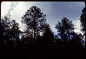 View of the tops of pine trees against and cloudy sky.<br /> D&amp;RGW