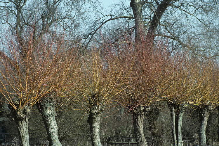 Osier Salix viminalis (Salicaceae) HEIGHT to 6m <br /> Spreading shrub or small tree. Rarely reaches full potential, being regularly cropped for long flexible twigs ('withies'), used for weaving. Natural crown is narrow with slightly pendulous branches. SHOOTS Straight twigs are flexible, covered with greyish hairs when young, becoming smoother and shiny olive-brown with age. LEAVES Narrow, tapering, to 15cm long, the margin usually waved and rolled under; underside has grey woolly hairs. REPRODUCTIVE PARTS Male and female catkins, to 3cm long, appear before leaves on separate trees; erect or slightly curved. Males are yellow, females browner. STATUS AND DISTRIBUTION Common native tree in wet habitats. Often planted for withies, masking its true native range.