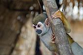 Xingu, Pará State, Brazil. Aldeia Laranjal (Arara). Monkey.