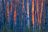 Last light on aspen trees <br />