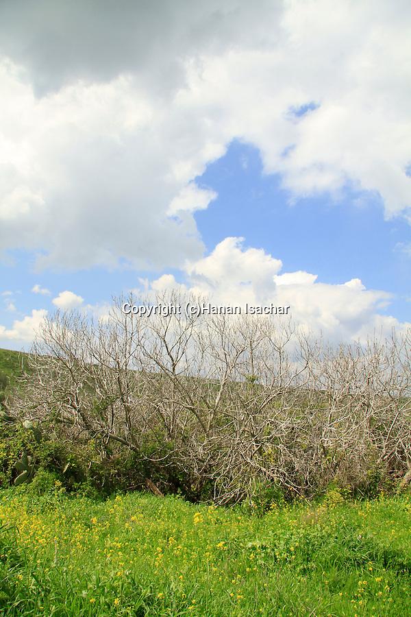 Israel, Menashe Heights, a Fig tree in Ein Kafrin