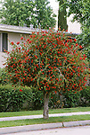 12148-CE Lemon Bottlebrush, Callistemon citrinus, shrub trained as small tree, from Australia, family Myrtaceae, in May at Bakersfield, CA USA.