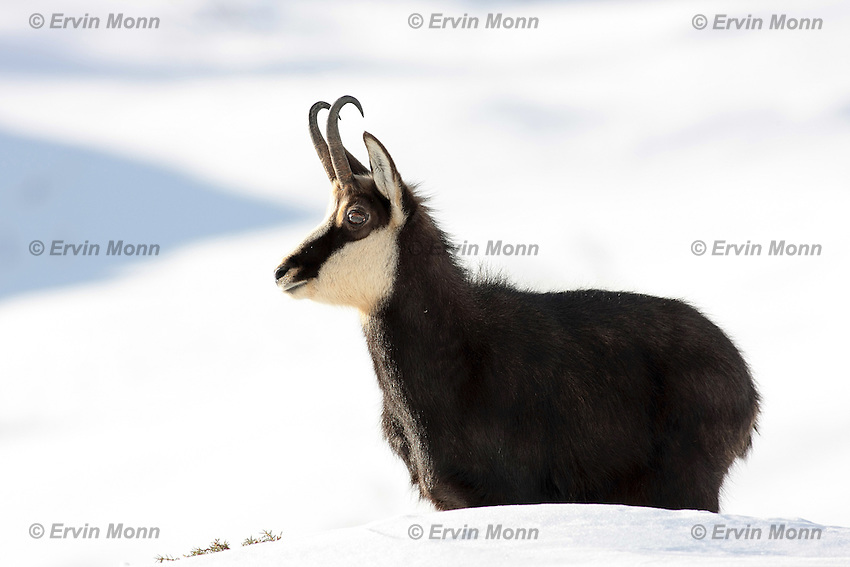 Side view of a chamois buck standing in the snow
