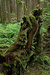 Moss covered tree trunk. Lyn canyon park North Vancouver, British Columbia, Canada.