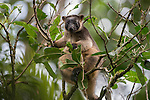 Lumholtz's Tree-kangaroo (Dendrolagus lumholtzi) feeding on leaves. The Lumholtz's tree-kangaroo is primarily a leaf eater, but also occasionally consumes fruits and flowers from quite a wide variety of native rainforest trees. It is also known to feed on the leaves of wild tobacco and lantana, both invasive weeds. A heavy-bodied tree-kangaroo is found in rain forests of the Atherton Tableland.  Its status is classified as least concern by the IUCN, although local authorities classify it as rare. It is named after the Norwegian explorer Carl Sofus Lumholtz. It is the smallest of all tree-kangaroos, with males weighing an average of 7.2 kg (16 lbs) and females 5.9 kg (13 lbs).[5] Its head and body length ranges from 480–650 mm, and its tail, 600–740 mm.[6] It has powerful limbs and has short, grizzled grey fur. Its muzzle, toes and tip of tail are black.
