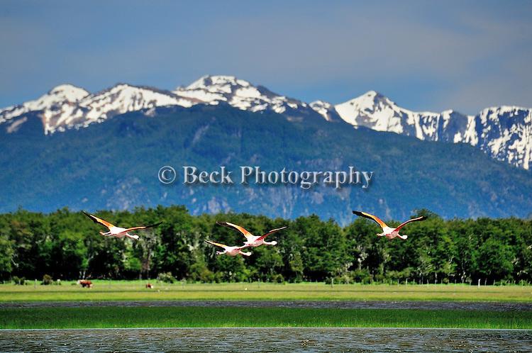 Flamingos in Tres Valles, Argentina