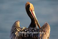 00672-00717 Brown Pelican (Pelecanus occidentalis), La Jolla cliffs, La Jolla, CA