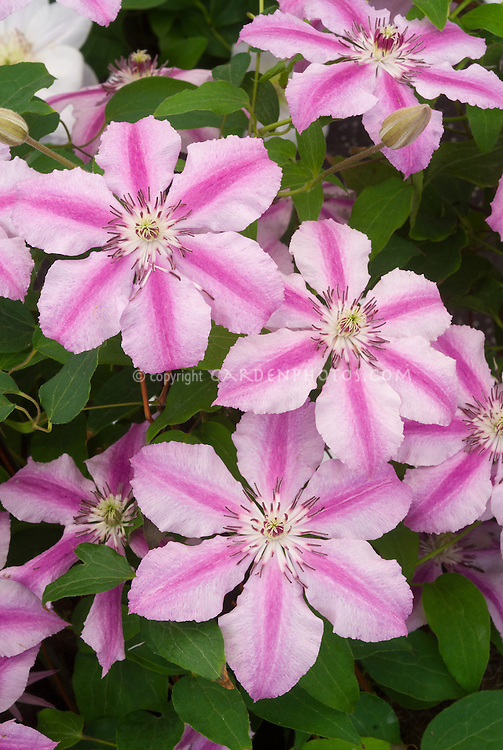 Clematis Oohlala Plant Flower Stock Photography Gardenphotos