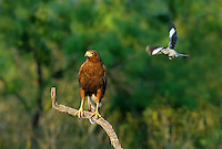 541950079 a wild harris hawk parabuteo unicinctus is attacked by a northern mockingbird mimus polyglottus while perched on a dead snag on a private ranch in the rio grande valley of south texas