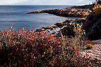 Vaccinium angustifolium are pictured on the coast of the St. Lawrence river in Essipit, an Innu community located in the Quebec region of Cote-Nord, Thursday October 11, 2012. Vaccinium angustifolium, commonly known as the Lowbush Blueberry, is a species of blueberry native to eastern and central Canada and the northeastern United States.