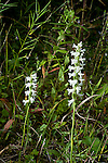 Nodding Ladies-Tresses