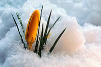 Yellow Crocus blooming in Early Spring Snow