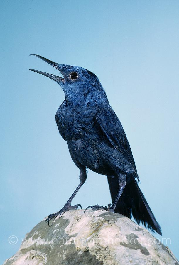 Blaumerle, Männchen, Blau-Merle, Monticola solitarius, blue rock thrush