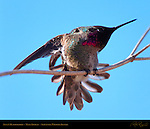 Anna's Hummingbird Male Display, Sepulveda Wildlife Refuge, Southern California