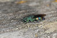 Goldwespe, Chrysis equestris, gold wasp, Goldwespen, Chrysididae, cuckoo wasp, cuckoo wasps