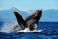 humpback whale calf, Megaptera novaeangliae, breaching Icy Strait, Alaska, USA, Pacific Ocean