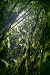 Closeup of moss covered tree branches glowing in sunlight in a dark forest . Vancouver Island, British Columbia, Canada.