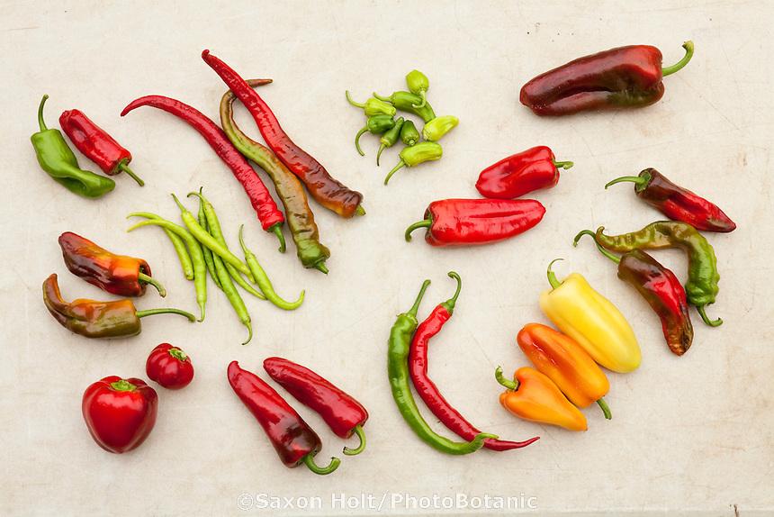 Variety of colorful peppers, top row l-r: Gernika, Hot Portuguese, Pimientos de Padrón, Dulce de España,  middle row l-r: Choricero, Piparra Vasca, Piquillo, Calabrian; bottom row l-r: ñora, Espelette, Piment d'Anglet, Gypsy.  Viridian Farms, Oregon