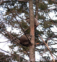 Two Raccoons in a tree