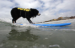 SAN DIEGO - MAY 22:   Nani, a 6 year-old Burmese Mountain Dog,  hangs 20 while competing in the Large Dog Category, 5th Annual 2010 Loews Coronado Bay Resort Surf Dog Competition at Dunes Beach in Imperial Beach, San Diego, California on May 22, 2010. (Photo by Donald Miralle)