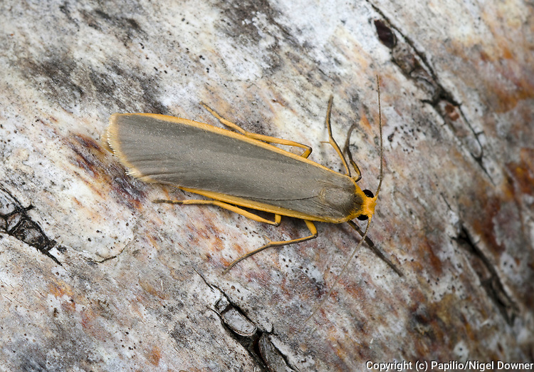Close-up of a Common footman moth (Eilema lurideola) in its typical resting position with wings folded on a birch tree in a Norfolk garden in summer