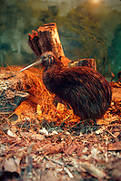 Kiwi bird (stuffed, now extinct) at Rainbow Springs exhibit, Rotorua, New Zealand