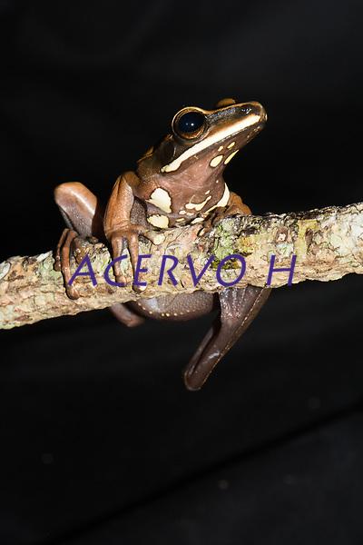 Esp&eacute;cie: Boana lanciformis (Cope, 1871)<br /> Nome - ingl&ecirc;s: Basin Treefrog<br /> .<br /> Esp&eacute;cie de perereca de grande porte e com ampla distribui&ccedil;&atilde;o na bacia amaz&ocirc;nica. &Eacute; uma esp&eacute;cie arbor&iacute;cola e os machos vocalizam a noite sobre a vegeta&ccedil;&atilde;o &agrave; beira de corpos d'&aacute;gua, especialmente em &aacute;reas alag&aacute;veis.<br /> .<br /> .<br /> Imagem feita em 2017 durante expedi&ccedil;&atilde;o cient&iacute;fica para a regi&atilde;o do Lago Tef&eacute;, Tef&eacute;, Amazonas, Brasil. A expedi&ccedil;&atilde;o, financiada pelo  Conselho Nacional de Desenvolvimento Cient&iacute;fico e Tecnol&oacute;gico, teve o abjetivo de reencontrar esp&eacute;cies de anf&iacute;bios descritas pelo explorador Johann Baptist von Spix no ano de 1824.